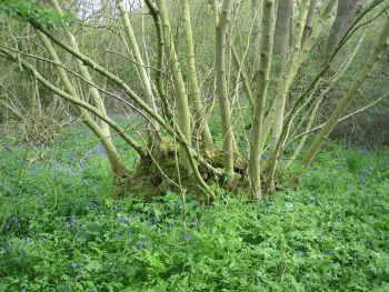 Old ash coppice stool - about 13 years since last cut