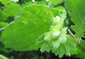 Hazel leaves and nuts in July