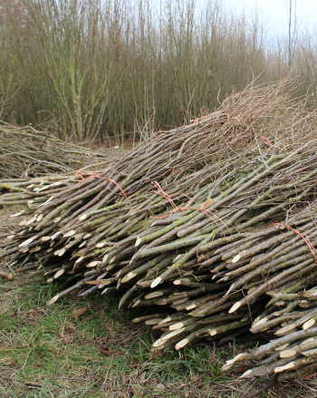 Large bundles of pea sticks (in 50s) usually for commercial gardens