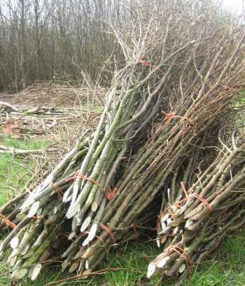 Hazel pea sticks in bundles of 15