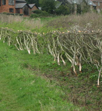 Hazel stakes and binders produced every winter
