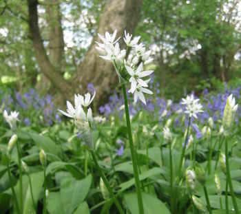 Wild garlic in Chester Wood