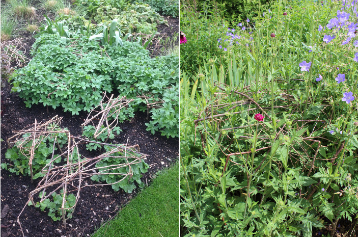 Pea stick action shots. Left - early April (thanks to Charlotte at the Wormsley Estate) and right - Geraniums leaning on a pea stick frame in late June (thanks to Anne at Woburn Abbey)