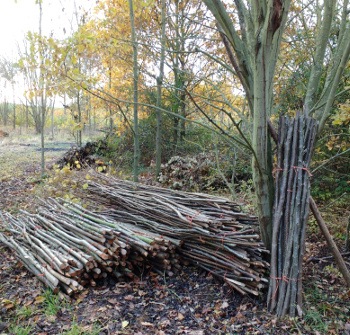 Hazel stakes and binders ready for collection. From Wassledine