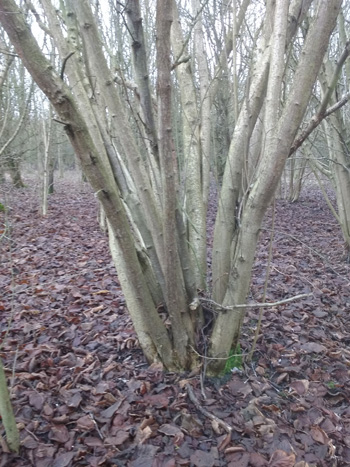 Thirty year old hazel in need of cutting at Centenary Wood, Pulloxhill