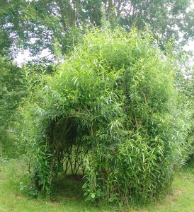 A living willow dome in our wood