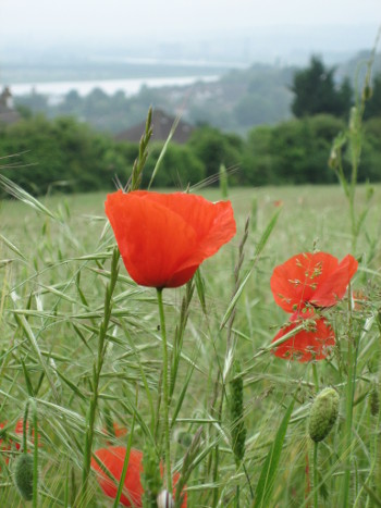 Field poppies - a more common arable weed, in the beautiful setting of Ranscombe Farm, Kent. Jane LAmbourne of Wassledine, told stories abotu rarer weeds at an open day during May 2018