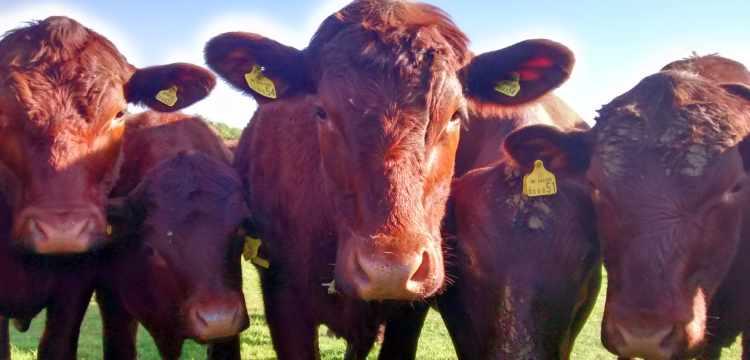 Wassledine's Red Poll cattle