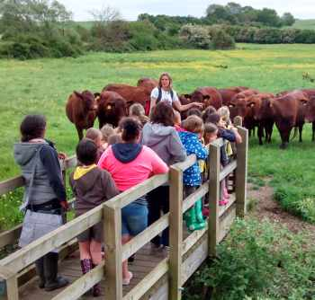 Jane introducing our Red Polls to a group