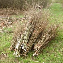 Hazel pea sticks