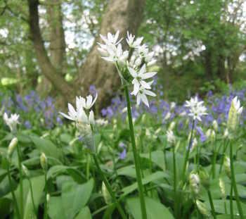 Wild garlic in Chester Wood