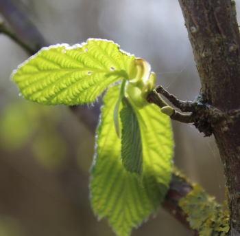 Pure green hazel leaf in Wassledine's woodland