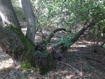 An ancient ash stool collapsed under its own weight