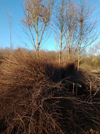 Hazel pea sticks stockpiled in the wood, ready for bundling