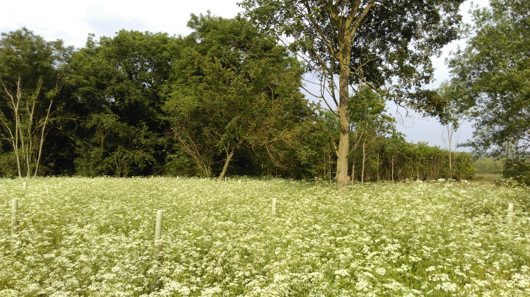 The same plot in Chester Wood, May 2018 - a sea of cow parsley