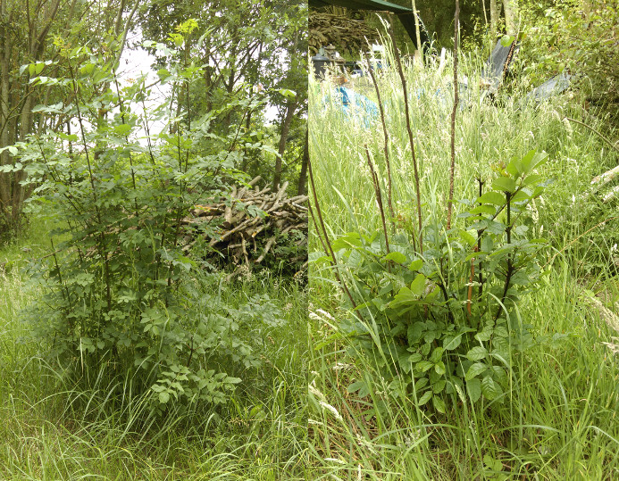 Two coppiced ash trees - no apparent ash dieback (L), recovering from ash dieback? (R)