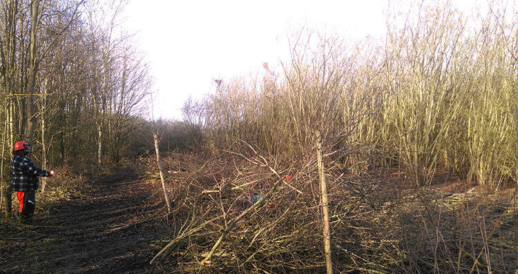 Early stages of coppicing, February 2019. Wassledine, hazel coppice