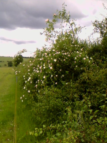 Dog rose flowering and growing out of a large hedge, in June