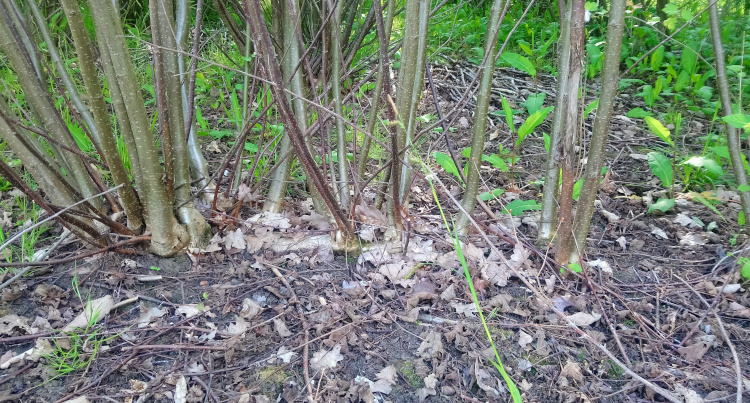 Propagating Hazel by Layering